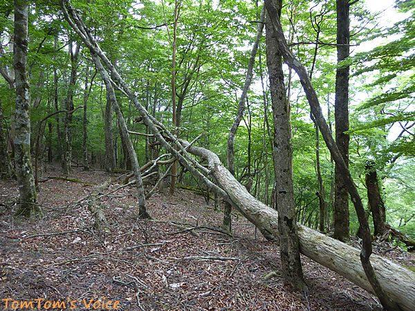玉置山のブナの自然林