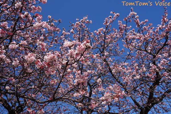 S660で行く熊野路、那智勝浦駅前の満開の桜
