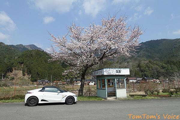 大屋町瓜原のバス停の桜
