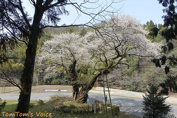明日は村の花見だということで準備をしていた竹野町のおまき桜