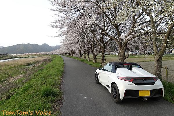 氷上町の加古川沿いの桜並木は1km以上続いているのが圧巻