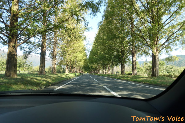 高島市のメタセコイア並木を車中からパチリ