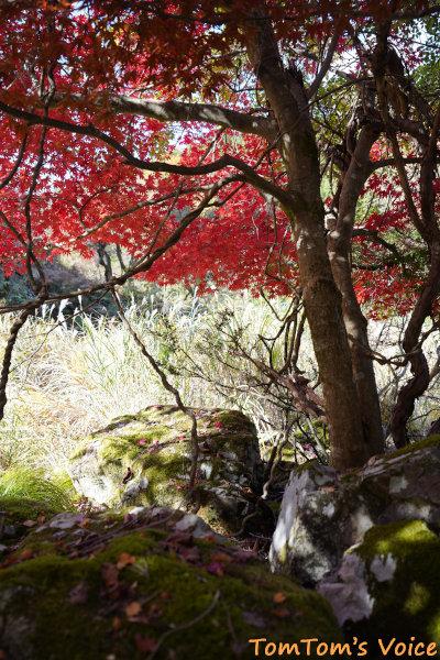 20201114、S660にて、丹後半島の峰山あたりの紅葉、きれいな紅葉があると止まってばかり